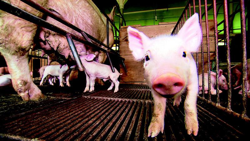Criação de porcos vale a pena?
